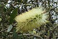 Callistemon pallidus kz05.jpg