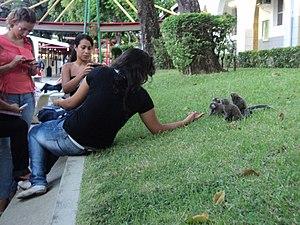 Callitrichidaes in the Catholic University of Salvador, Brazil