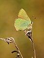 Callophrys rubi 002.JPG