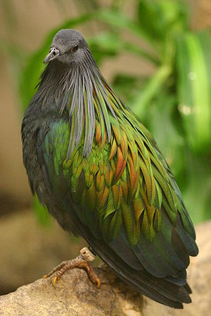 Nicobar Islands - A Nicobar pigeon. While named after the Nicobar Islands, it is also found widely in the Malay Archipelago