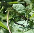 Calopteryx splenden.png