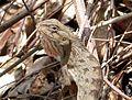 Calotes versicolour - Flickr - gailhampshire.jpg