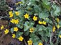 Caltha palustris (14025071687).jpg