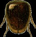 Calyptomerus alpestris Jacobson.png