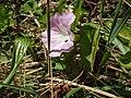 Calystegia sepium roseata R.Br. (AM AK320287-1).jpg