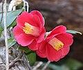 Camellia japonica (flower s4).jpg
