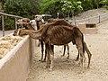 Camelus dromedarius - dromedary - Dromedar - dromadaire - Oasis Park - Fuerteventura - 03.jpg