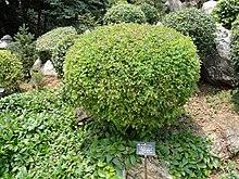 Campylotropis polyantha - Ботанический сад Куньмин - DSC03042.JPG