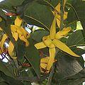 Cananga odorata flowers-cropped.jpg