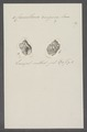 Cancellaria rugosa - - Print - Iconographia Zoologica - Special Collections University of Amsterdam - UBAINV0274 084 05 0011.tif