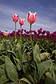 Candy Apple Tulips.jpg