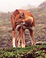 Canis simensis Bale Mountains 4.jpg