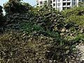 Capparadavare (Kannada- ಕಪ್ಪರದವರೆ) (3052531078).jpg