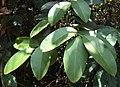 Capparis zeylanica 01.JPG