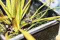 Captive rearing study of Hadramphus tuberculatus on a young Aciphylla aurea in an enclosure.jpg