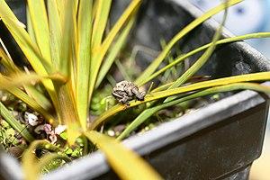 Hadramphus tuberculatus - Image: Captive rearing study of Hadramphus tuberculatus on a young Aciphylla aurea in an enclosure