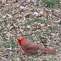 Cardinal (Cardinalis cardinalis) (8334576944).jpg