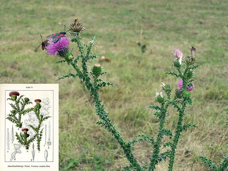Soubor:Carduus acanthoides L ssp.acanthoides.jpg