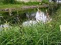 Carex acutiformis plant (12).jpg