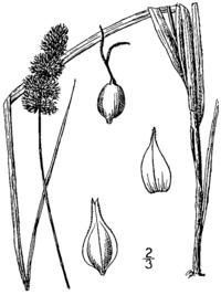 Carex aggregata BB-1913.png