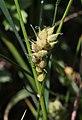 Carex hirta inflorescens (45).jpg