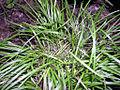 Carex jamesii.jpg