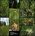 Carex limosa (01).jpg