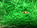 Caridina cf. cantonensis - crystal red - 1 adult.jpg