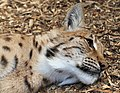 Carpathian Lynx 2 (35853670301).jpg