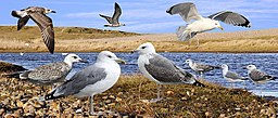 Caspian Gull from the Crossley ID Guide Britain and Ireland
