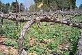 Castel vineyard - panoramio.jpg