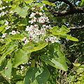 Catalpa bignonioides-IMG 5811.jpg