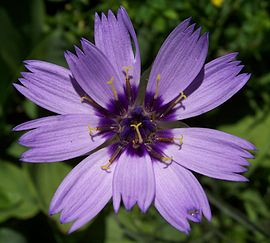 Catananche caerulea 001.jpg