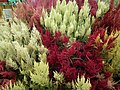 Celosia wool flower from Lalbagh flower show Aug 2013 8453.JPG