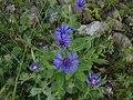 Centaurea-cyanus002.jpg