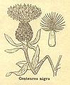 Centaurea nigra sl.jpg
