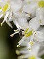 Ceratina bispinosa female.jpg
