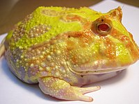 Xanthochromistic Argentine horned frog