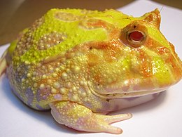 Ceratophrys ornata (Pacman Frog)