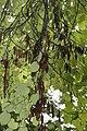 Cercis canadensis 34zz.jpg