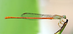 Ceriagrion glabrum (Macho)