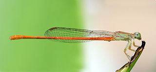 Coenagrionidae family of insects