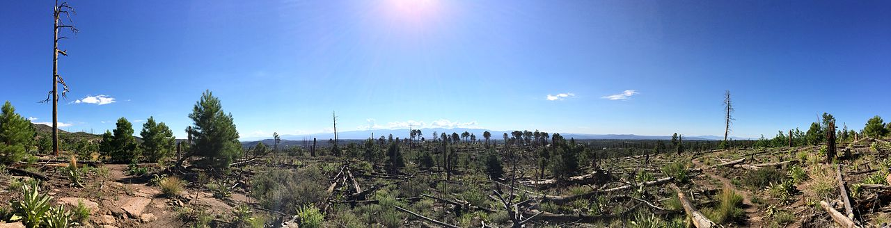The lasting effects of the Cerro Grande wildfire on the Quemazon Trail west of Los Alamos as seen in July 2014. The ground is littered with burnt logs. Burnt, limbless tree trunks fill the landscape, but pine trees and other vegetation have begun to sparsely populate this once baren burn area.