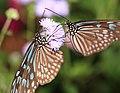 Ceylon Blue Glassy Tiger - Ideopsis similis - 琉球浅葱斑(リュウキュウアサギマダラ) (8899324517).jpg