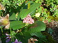 Chamaemespilus alpinus.jpg