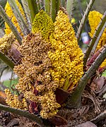Chamaerops humilis male flowers, Christchurch Botanic Gardens, Canterbury, New Zealand 09.jpg