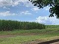 Champ de canne à sucre aux environs de Bambous, Maurice (1).jpg