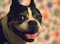 Chance the Boston Terrier (2008).jpg