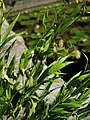 Chasmanthium latifolium Obiedka szerokolistna 2011-09-11 03.jpg