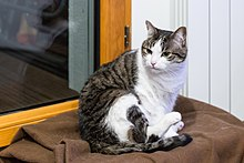 Domestic Short Haired Cat Wikidata